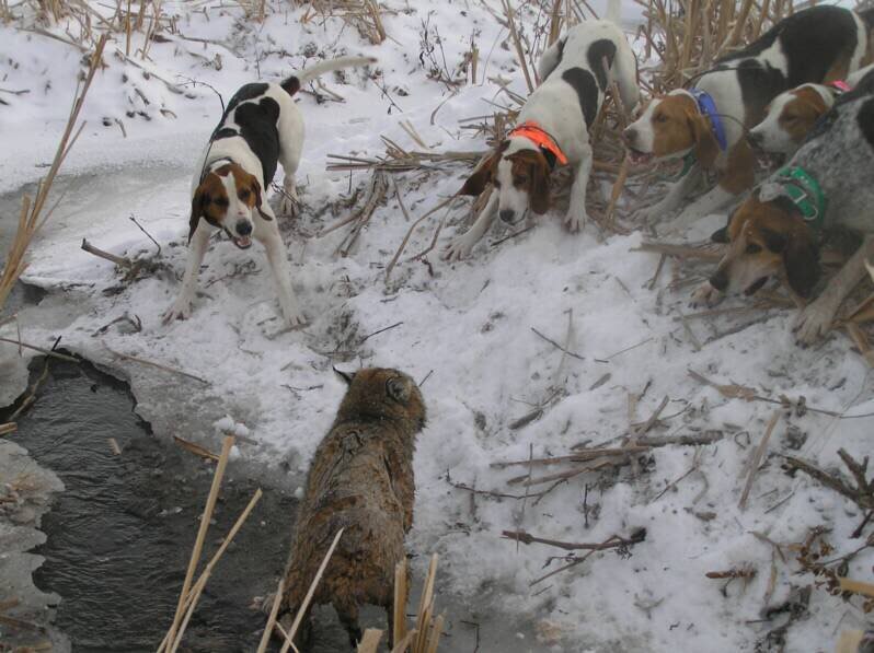 Hound Hunters: Right to run dogs versus land use ethics…and wolves get caught in between ...
