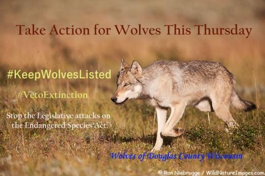 Wild wolf, Denali National Park, Alaska.